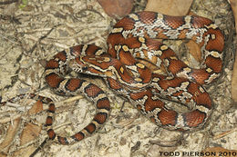 Image of Corn Snake