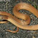 Image of Pine Woods Littersnake