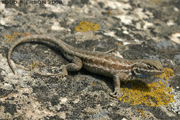 Image of Common Sagebrush Lizard