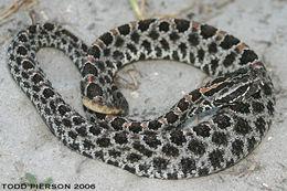 Image of Pygmy Rattlesnake