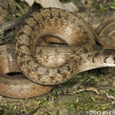 Image of Brown Snake