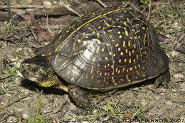 Image of box turtle