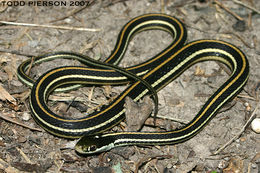 Image of Western Ribbon Snake