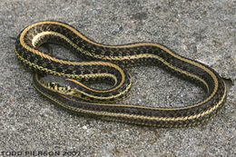Image of Western plains garter snake