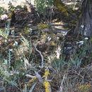 Image of Cusick's stickseed