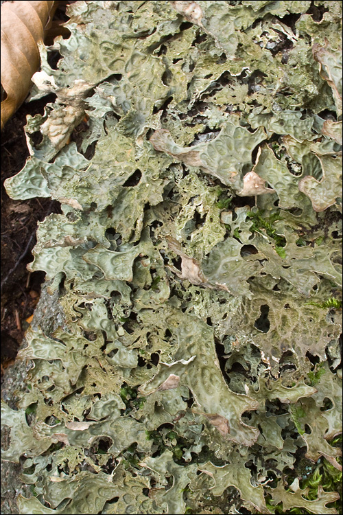 Image of Lungwort