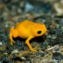 Image of Pumpkin Toadlet