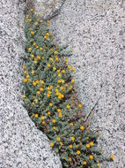 Image of starved fleabane