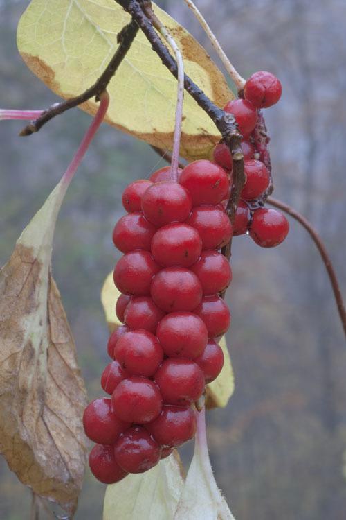 Image of <i>Schisandra chinensis</i> (Turcz.) Baill.