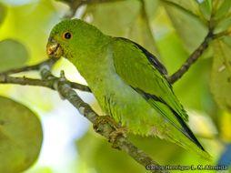 Image of Black-eared Parrotlet
