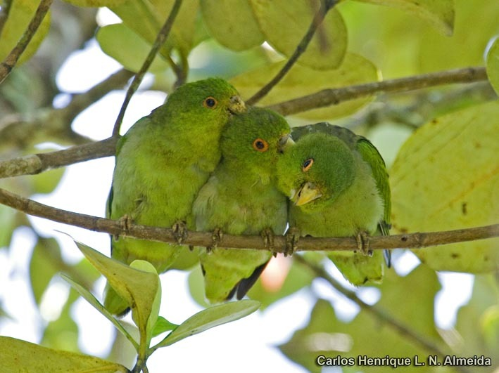 Image of Black-eared Parrotlet