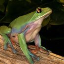 Image of Blue-sided Tree Frog