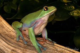 Image of blue-sided leaf frog