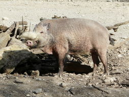 Image of Bearded Pig