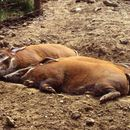 Image of red river hog