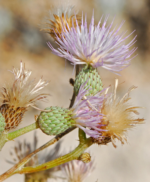 Image of <i>Cirsium coahuilense</i> G. B. Ownbey & D. J. Pinkava