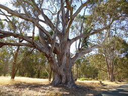 Image of Tasmanian blue gum