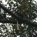 Image of Geoffroy's Black-and-White Colobus