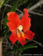 Image of <i>Mimulus aurantiacus</i> var. <i>puniceus</i> (Nutt.) D. M. Thomps.