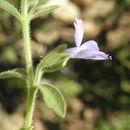 Image of <i>Bonplandia geminiflora</i> Cav.