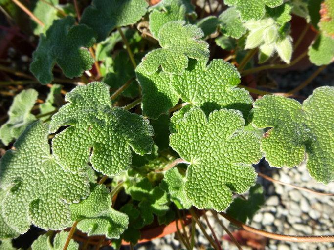 Image of <i>Geranium renardii</i> Trautv. ex Trautv., Regel, Maxim. & C. Winkl.