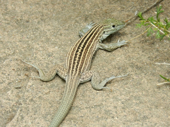 Image of New Mexico whiptail