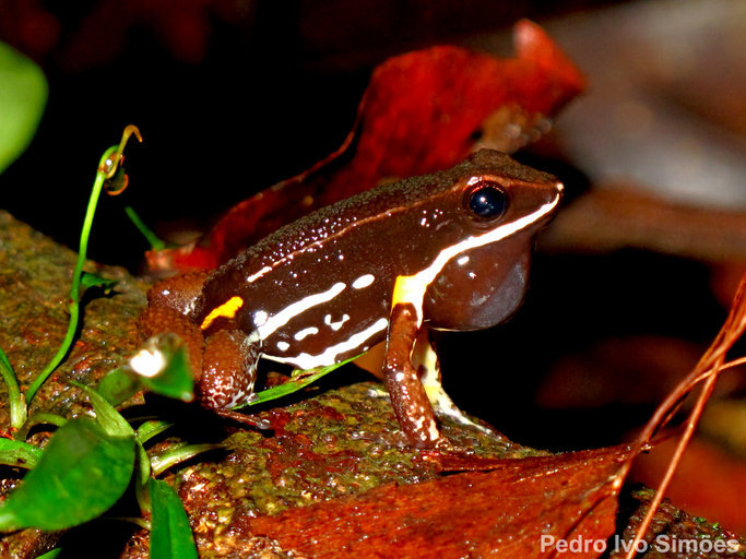 Image of Brilliant-thighed Poison Frog
