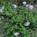 Image of <i>Hydrophyllum occidentale</i> (S. Wats.) A. Gray