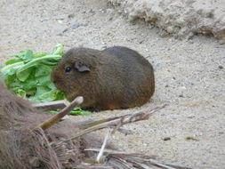Image of Brazilian Guinea Pig