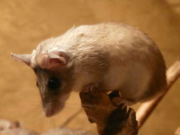 Image of Turkish spiny mouse