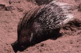 Image of Indian Crested Porcupine