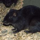 Image of Brown's Hutia