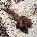 Image of Smith's bush squirrel