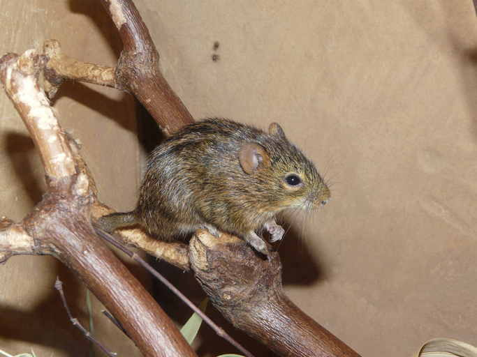 Image of Four-striped grass mouse