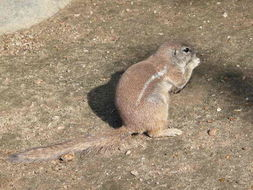 Image of Cape Ground Squirrel