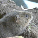 Image of Eurasian Water Vole