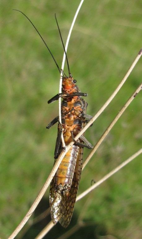 Image of Giant Salmonfly