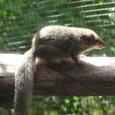 Image of Tree shrew