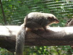 Image of Tree shrew