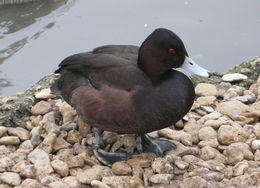 Image of Southern Pochard