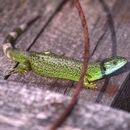 Image of Western Green Lizard