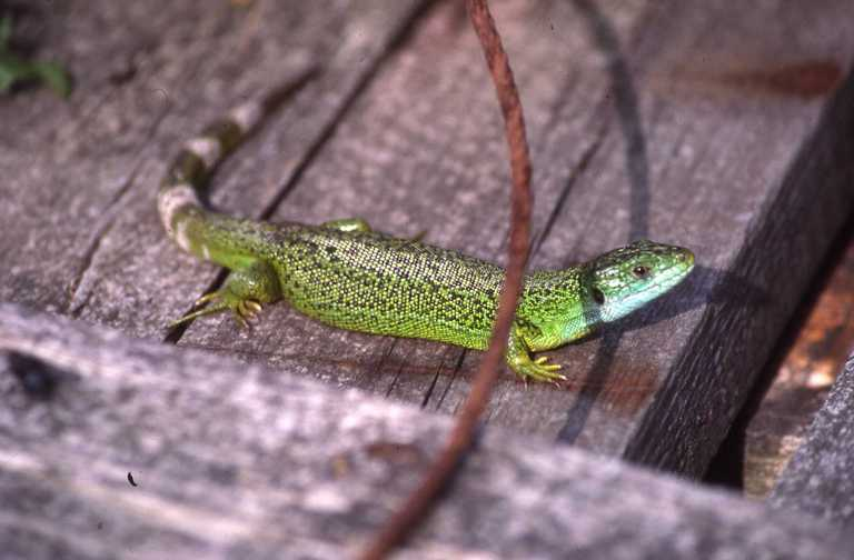 Image of Western Green Lizard
