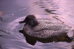 Image of Freckled Duck