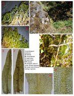 Image of anoectangium moss