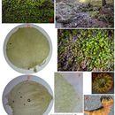 Image of alpine hygrohypnum moss