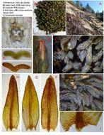 Image of Hall's orthotrichum moss