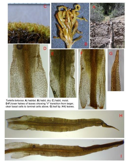 Image of tortured tortella moss