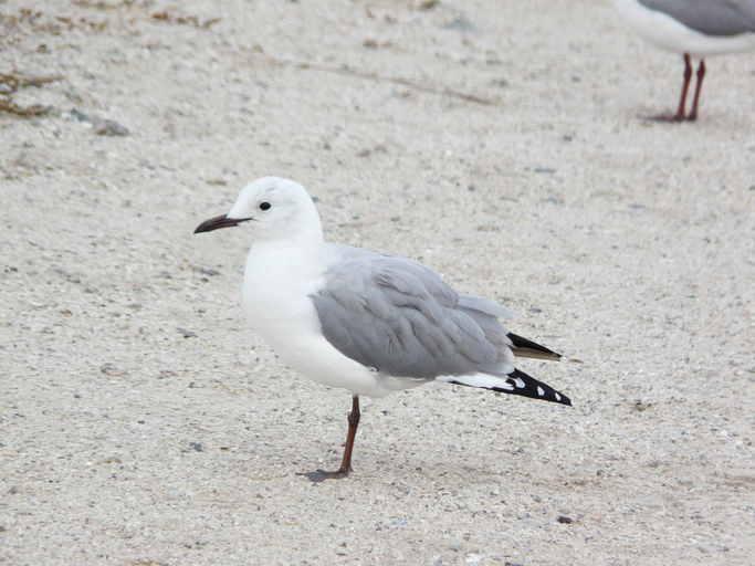Image of Hartlaub's Gull