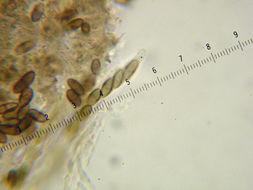 Image of chaenothecopsis lichen