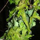 Image of Rainier pseudocyphellaria lichen